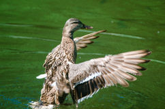 Beautiful wild duck flapping the wings in water. Duck with amazing colourful wings Royalty Free Stock Images