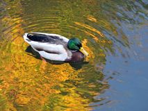 Wild ducks moving in water, Lithuania Stock Photo