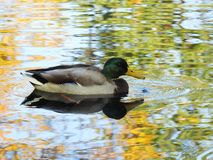 Beautiful wild duck floating on water, Lithuania stock photos
