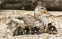 Beautiful wild duck with youngs, animal scene. Wild duck with youngs. Animal scene. Spring theme. Detail photo Stock Image
