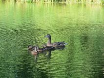 Wild duck with kids in lake, Lithuania Stock Photos