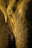Elephants eye , closeup. Beautiful wild elephant closeup with eye , ear and trunk stock images