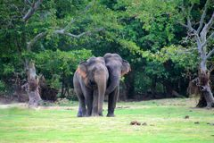 Elephant couples stock photography