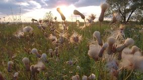 Beautiful wild field flowers on nature and grass sunset steadicam shot motion video. Beautiful wild field flowers nature and grass sunset steadicam shot motion Royalty Free Stock Photo