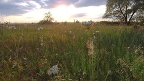 Beautiful wild field flowers on nature and grass sunset steadicam shot motion video. Beautiful wild field flowers nature and grass sunset steadicam shot motion Royalty Free Stock Photos
