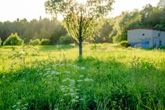 Beautiful wild field with a single tree. And sun royalty free stock photography