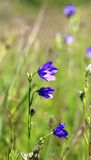 Beautiful wild flower bell Stock Image