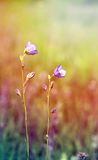 Beautiful wild flower bell Royalty Free Stock Images