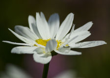 Camomile in the garden Royalty Free Stock Image