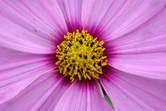 Beautiful wild flower. Closeup of a wild flower Royalty Free Stock Photos