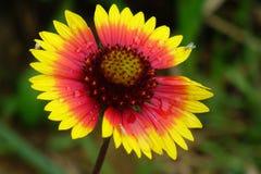 Beautiful wild flower Royalty Free Stock Photo