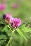 Beautiful wild flower clover Stock Images
