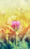Beautiful wild flower clover Royalty Free Stock Images
