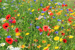 Beautiful wild flowers or wildflowers. Beautiful wild flowers growing in a field Stock Photo