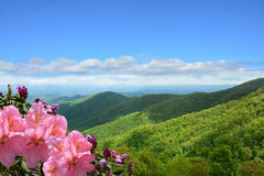 Beautiful wild flowers blooming in mountains. Beautiful azaleas blooming in mountains. Green hills,meadows and sky in the background. Summer mountain landscape stock photo