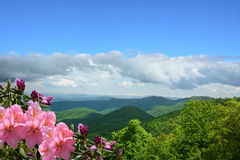 Beautiful wild flowers blooming in mountains. Beautiful azaleas blooming in mountains. Green hills,meadows and sky in the background. Summer mountain landscape stock image