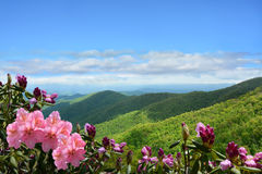 Beautiful wild flowers blooming in mountains. Beautiful azaleas blooming in mountains. Green hills,meadows and sky in the background. Summer mountain landscape stock photos