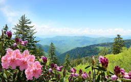 Beautiful wild flowers blooming in mountains. Beautiful azaleas blooming in mountains. Green hills,meadows and sky in the background. Summer mountain landscape royalty free stock image