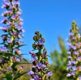 Beautiful wild flowers echium callithyrsum. Wild flowers of echium callithyrsum Stock Photos