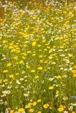 Beautiful wild flowers. Royalty Free Stock Photo