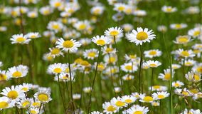 Beautiful wild flowers on the meadow in springtime Anthemis Ruthenica stock video