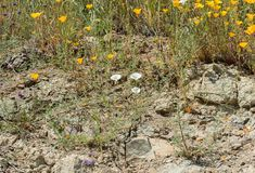 Beautiful wild flowers - a part of the superbloom phenomena in the Walker Canyon mountain range near Lake Elsinore. Southern California stock images