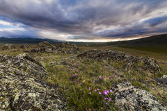 Beautiful wild flowers in the rocks. Royalty Free Stock Photo