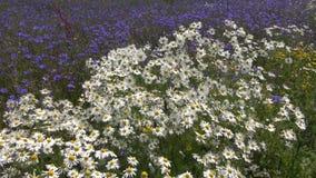 Beautiful wild flowers summer field in wind. Marguerite and blue cornflowers stock video