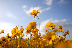 Beautiful Wild Flowers: Yellow 2. A  macro bug's eye view  of a field of bright yellow wildflowers Royalty Free Stock Photos
