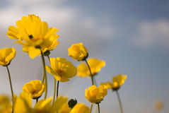 Beautiful Wild Flowers: Yellow 3. A macro bug's eye view of a field of pretty yellow wildflowers Stock Images