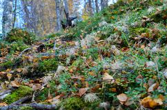 Beautiful wild footpath covered with fallen autumn leaves and old tree roots Royalty Free Stock Photos