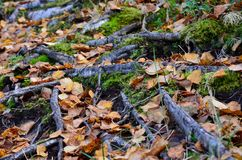 Beautiful wild footpath covered with fallen autumn leaves and old tree roots Stock Images