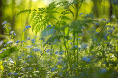 Beautiful wild forest small blue flowers and green plants with light bokeh in sunlight. Abstract blurred background Royalty Free Stock Images
