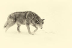 Beautiful wild gray wolf. Vintage effect Stock Photos