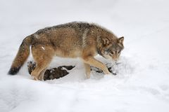 Wild gray wolf in winter Royalty Free Stock Photos