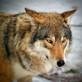 Beautiful wild gray wolf in winter Royalty Free Stock Photography