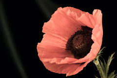 Beautiful wild-growing red poppy Royalty Free Stock Photography