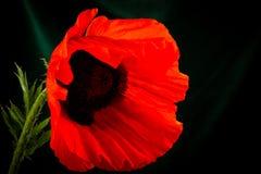Beautiful wild-growing red poppy Stock Photo