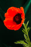Beautiful wild-growing red poppy Royalty Free Stock Images