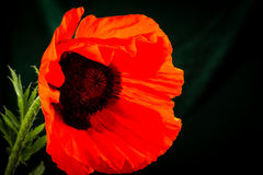 Beautiful wild-growing red poppy Stock Images