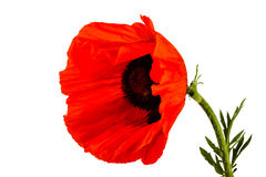 Beautiful wild-growing red poppy Stock Photography