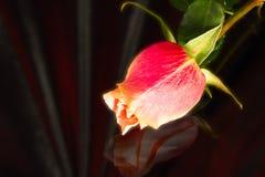 Beautiful wild-growing scarlet rose Stock Photography