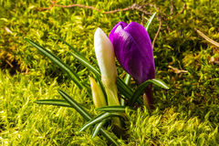 Beautiful wild-growing violet and white crocus Stock Photos