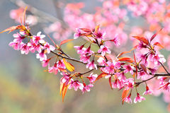 Beautiful Wild Himalayan Cherry blossom in north of Thailand Stock Photos