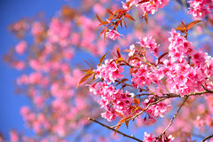 Beautiful Wild Himalayan Cherry blossom in north of Thailand Stock Photography