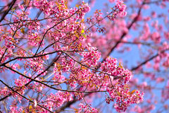Beautiful Wild Himalayan Cherry blossom in north of Thailand Stock Images