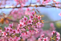 Beautiful Wild Himalayan Cherry blossom in north of Thailand Stock Photo