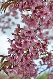 Beautiful Wild Himalayan Cherry blossom. In north of Thailand Royalty Free Stock Photography