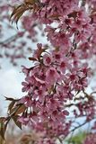 Beautiful Wild Himalayan Cherry blossom. In north of Thailand Royalty Free Stock Images