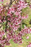 Beautiful Wild Himalayan Cherry blossom. In north of Thailand Royalty Free Stock Photos